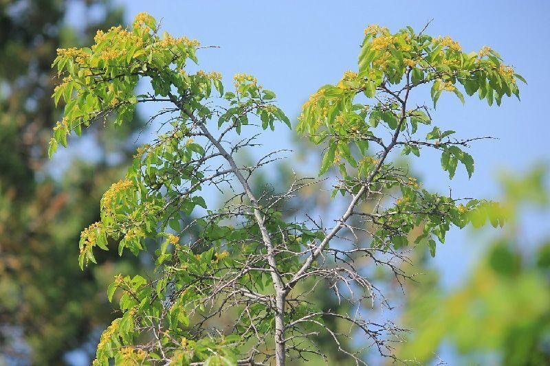 Держи-дерево, или палиурус